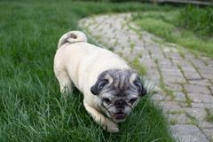 Fawn pug on the prowl for treats. Running through the grass Stock Photo