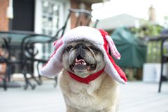 Fawn pug on the prowl for treats in his santa hat. Fawn pug on the prowl for treats sitting in his santa hat Stock Photography