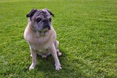 Fawn Pug s'asseyant dans un domaine d'herbe Images stock