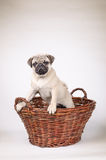 Fawn pug standing in the basket Stock Photography