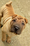 Fawn puppy sharpei. Fawn horse coated puppy sharpei, age 8 weeks old,  wrinkled dog Stock Image