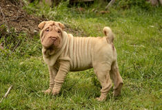 Fawn puppy sharpei. Fawn horse coated puppy sharpei, age 8 weeks old,  wrinkled dog Royalty Free Stock Images