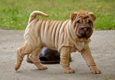 Fawn puppy sharpei. Fawn horse coated puppy sharpei, age 8 weeks old,  wrinkled dog Royalty Free Stock Image