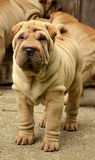 Fawn puppy sharpei. Fawn horse coated puppy sharpei, age 8 weeks old,  wrinkled dog sitting on the grass Stock Photos