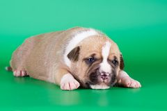 Fawn puppy Stock Photography