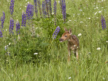 Fawn in Purple Wildflowers Royalty Free Stock Photo