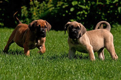 Fawn and red Cane corso puppys, 8 weeks Royalty Free Stock Images