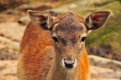 Fawn of red deer with doe eyes. Red deer fawn (cervus elephus) in Switzerland Royalty Free Stock Photos