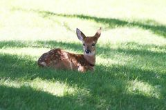 Fawn relaxing. Fawn lying in the grass Stock Photo