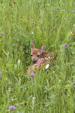 Fawn Resting in Lush Meadow Stock Photo