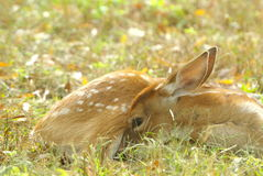 Fawn resting Royalty Free Stock Images