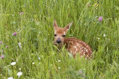 Fawn Resting in Wildflowers Royalty Free Stock Photography