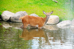 A fawn in the river near the waterfall Royalty Free Stock Photography