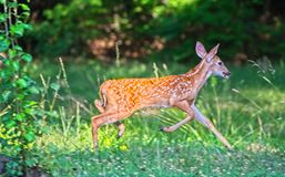 Fawn Running For Safety imagem de stock royalty free