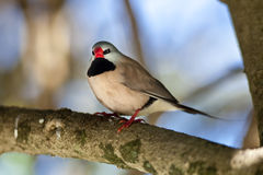 Fawn Shafttail Finch Royalty Free Stock Images