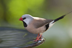 Fawn Shafttail Finch Stock Images