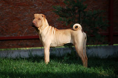 Fawn sharpei standing. Fawn shar pei adult standing Stock Photo