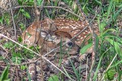 Fawn Sleeping under ett träd Royaltyfri Foto