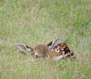 Fawn. Small spotted baby fawn waiting in a grassy field for it's mother to return royalty free stock images