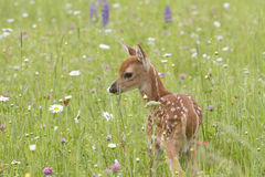 Fawn Smelling Flowers Stock Photo