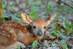 Fawn Sniffing Photographie stock
