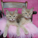 Fawn somali kittens. Relaxing on a pink cushion Stock Images