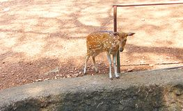 A Fawn of a Spotted Deer/Chital/Cheetal/Axis axis. This is a photograph of a fawn of a spotted deer, also known as chital, cheetal, or axis axis, captured at the Royalty Free Stock Photo