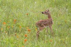 Fawn Standing Blanco-atada en Wildflowers anaranjados fotografía de archivo