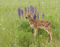 Fawn Standing in Front of Purple Lupine Royalty Free Stock Image