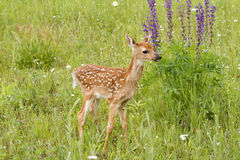 Fawn Standing in Front of Purple Lupine Stock Photos