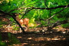 Fawn Standing in Wood Stock Photo