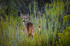 Fawn stare. Young mule deer fawn glances back through the tall grass Royalty Free Stock Photo