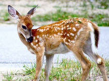 Fawn in the Suburbs. This young fawn was apparently orphaned, living near a populated suburban area royalty free stock images