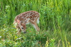 Fawn in tall grass. Whit tail fawn in tall grass Stock Photo