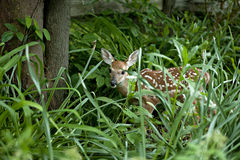 Fawn in thick Foliage Stock Image