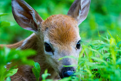 Fawn thicket. Fuzzy furry doe eyed fawn deer hiding in a thicket meadow clearing forrest peering looking out with doe eyes black Stock Photography