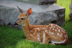 Fawn Among Tombs Stock Photo