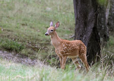 Fawn and Tree Stock Photography
