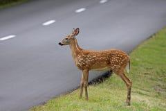 Fawn Waiting Beside vägen Fotografering för Bildbyråer