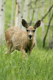 Fawn walking in mountain forrest. Fawn in colorado mountains walking in aspen tree forrest Stock Photography