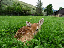 Fawn. That was left in a yard by the mother who later came back to claim Stock Images