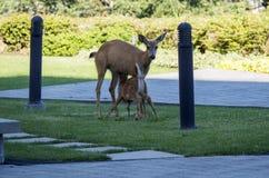 Fawn Weaning des cerfs communs de mère Photographie stock