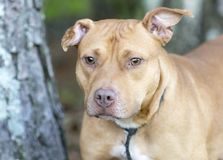 Red Pitbull dog with swollen ear hemtoma. Fawn and white female Pit Bull Terrier dog outside on leash. Right ear is swollen with possible hematoma. Pet adoption stock image