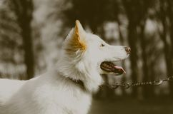 Fawn and White Long-coated Small-sized Dog Royalty Free Stock Images