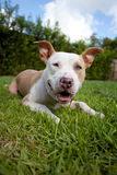 Fawn and White Pit Bull dog Stock Photo
