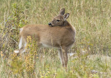 Fawn white tail deer. A young white tail deer scratching her back royalty free stock image