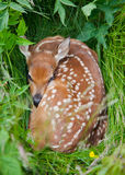 Fawn. White-tailed Deer Fawn (Odocoileus virginianus) hiding in tall grass Stock Photography