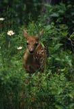 fawn whitetail Στοκ Φωτογραφίες