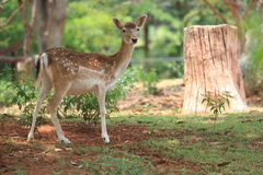 A fawn whitetail-deer Stock Photography