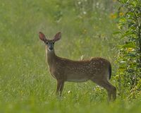 Fawn Whitetail Deer Stock Image